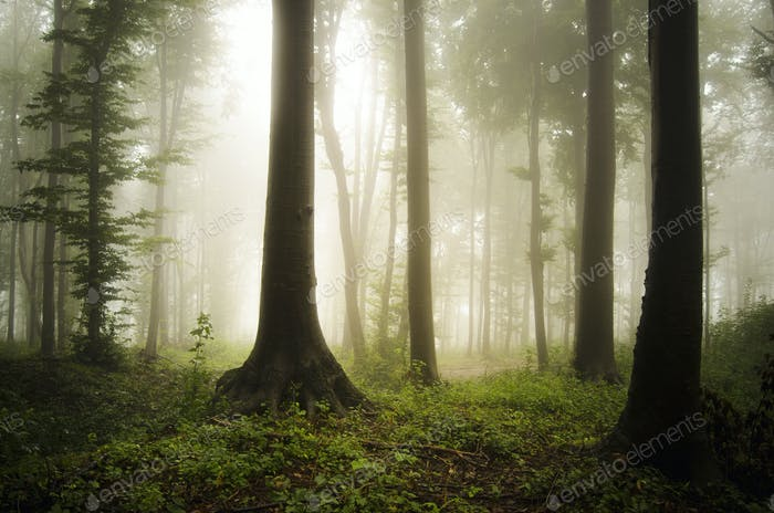 green forest on rainy summer day with trees in fog