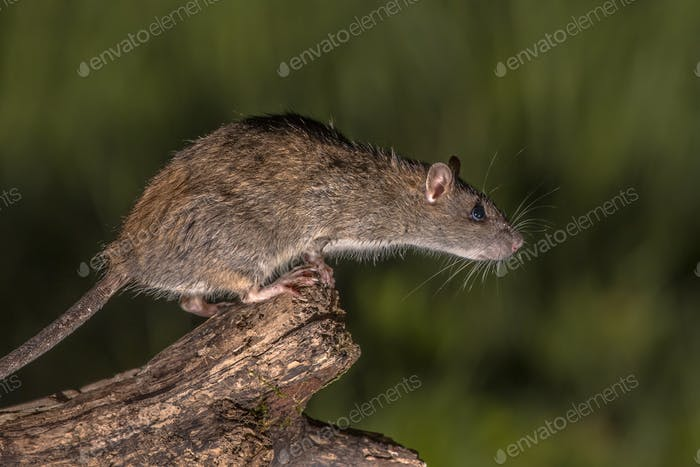 Wild brown rat about to jump