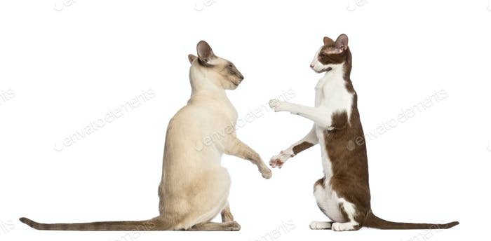 Two Oriental Shorthairs sitting and ready to fight against white background