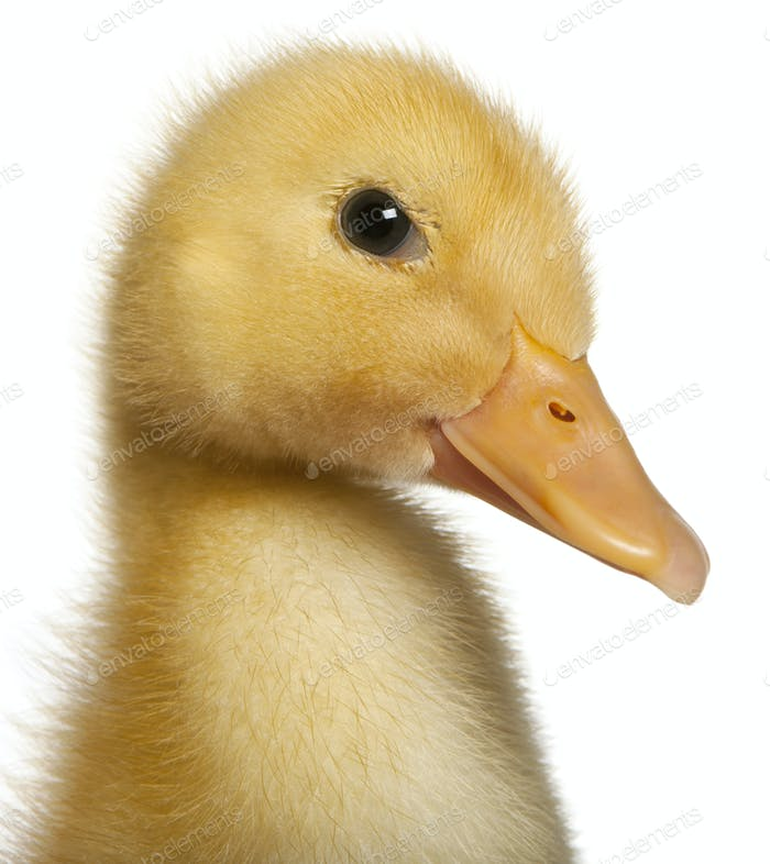 Close-up of Duckling, 1 week old, in front of white background