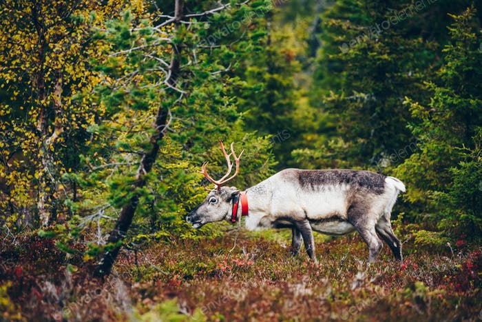 Beautiful reindeer in fall forest in Lapland, Finland.