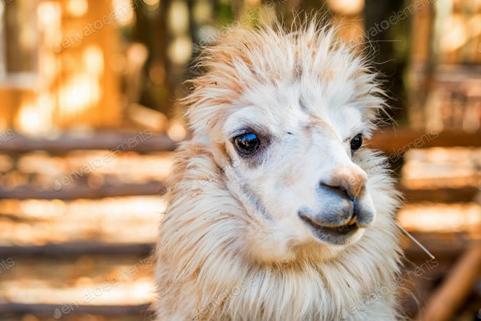 Portrait of cute white alpaca or Vicugna pacos