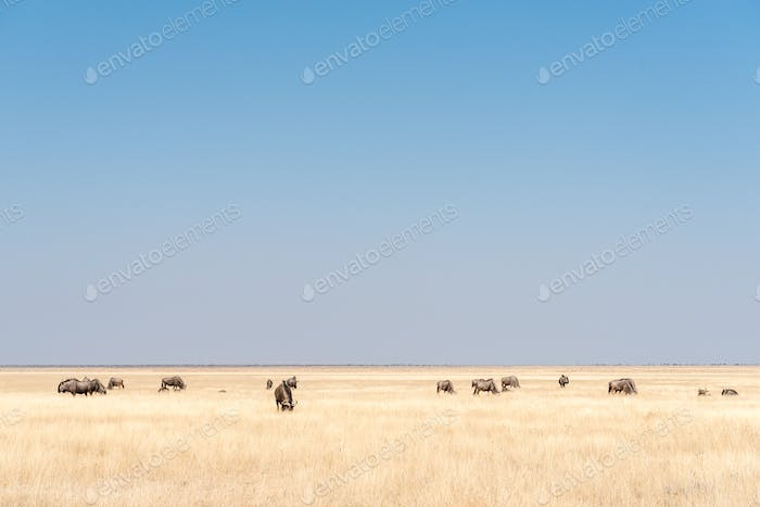 Herd of blue wildebeest, also called brindled gnu, between grass