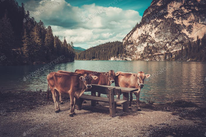 Cows standing near Lago di Braies with mountain forest on the background.
