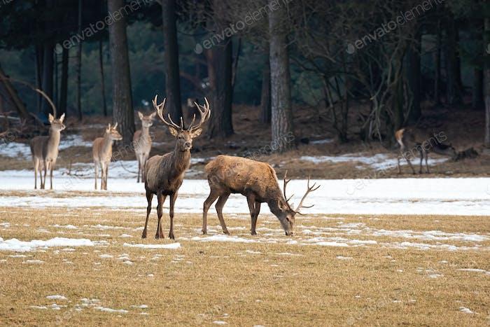 Herd of red deer standing on meadow in winter