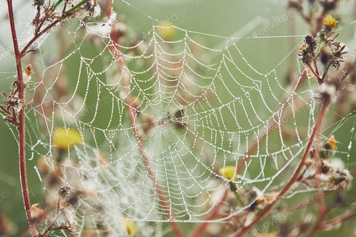 Spider web on flower covered with dew