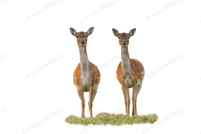 Cute fallow deer does watching camera isolated on white