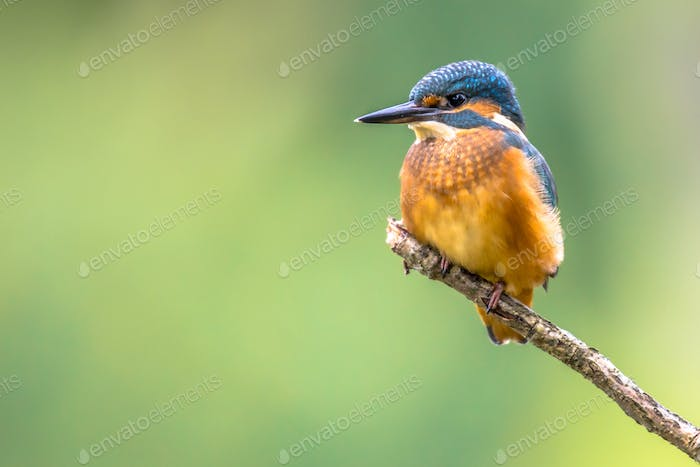 European Kingfisher perched on stick