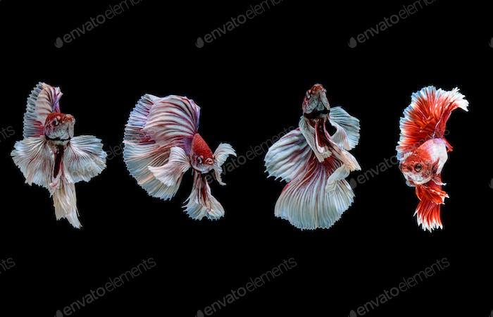 El pez luchador siamés comúnmente conocido como betta es un pez popular en el comercio de acuarios.