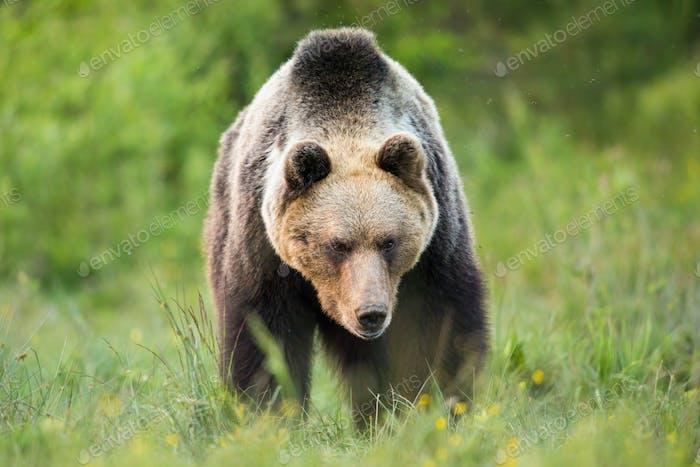 Massive brown bear walking on meadow in summer nature
