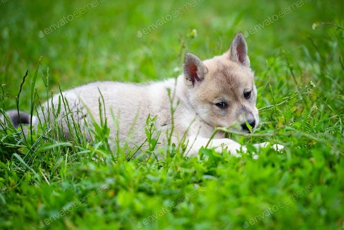 Portrait of cute Siberian Laika lying down on the grass