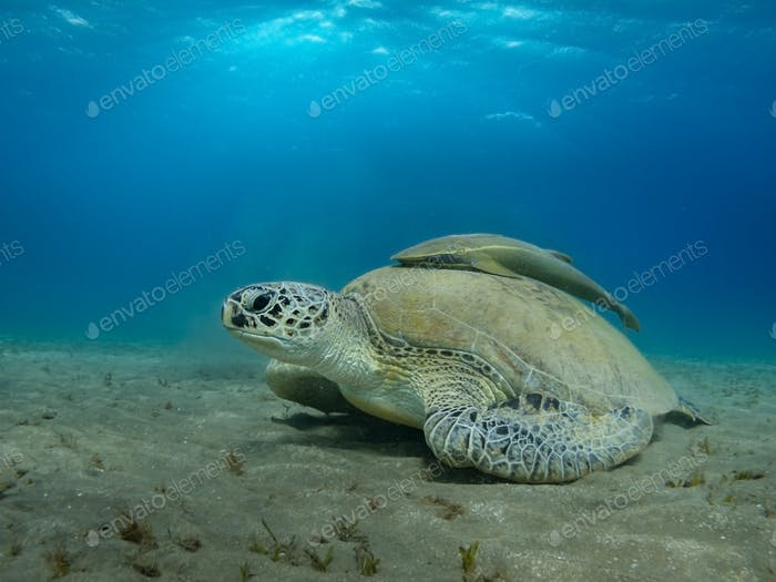 Giant Sea turtle close-up Red Sea Egypt