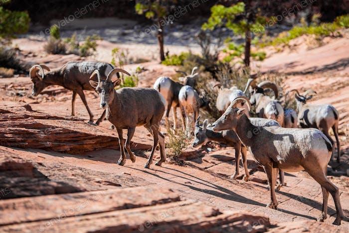 Herd of desert bighorn sheep, ovis canadensis nelsoni, walks through Zion National Park