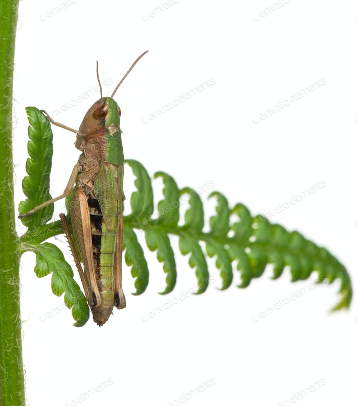 Woodland Grasshopper, Omocestus rufipes, on fern in front of white background