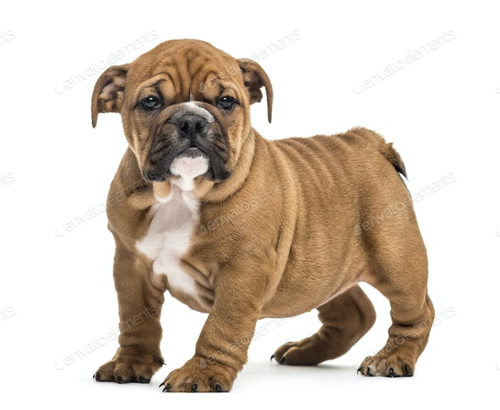 Bulldog puppy standing, isolated on white