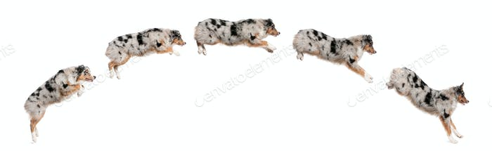 Composition of Australian Shepherd dogs jumping in a row, 7 months old, in front of white background