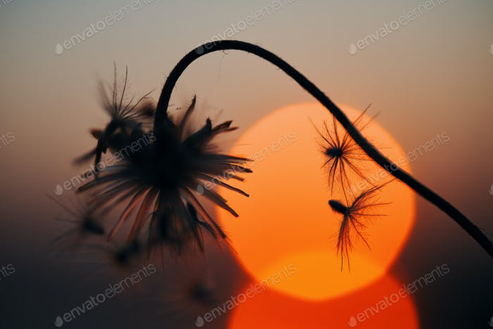 Silhouetted wilted dry flowers with sun set