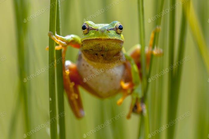 European tree frog frontal view