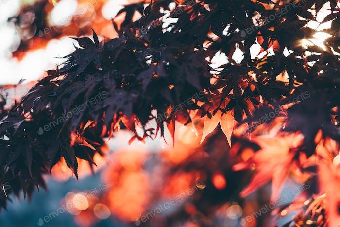 Autumn red leaf at sunset light.