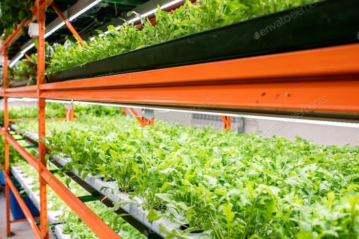 Perspektive der grünen Sämlinge neuer Arten von Gartenbaupflanzen