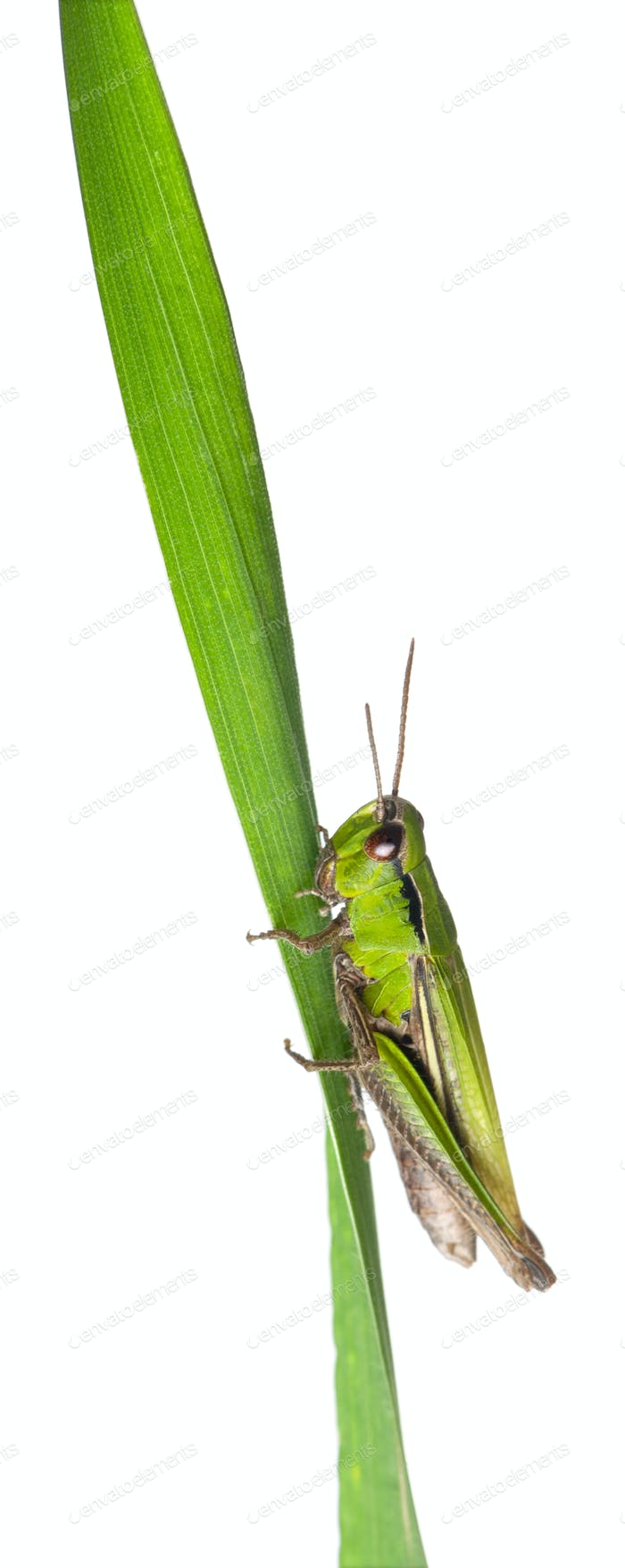 Cricket on a grass blade in front of white background