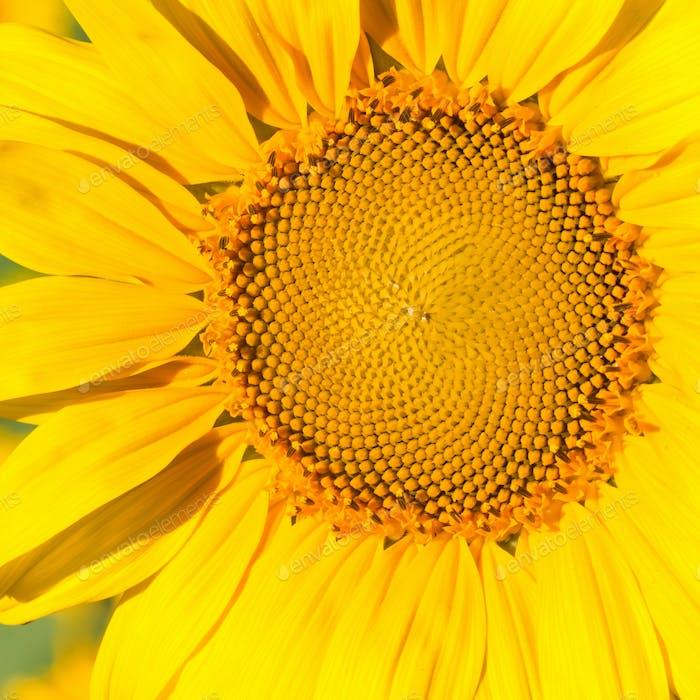Sunflower head in the field