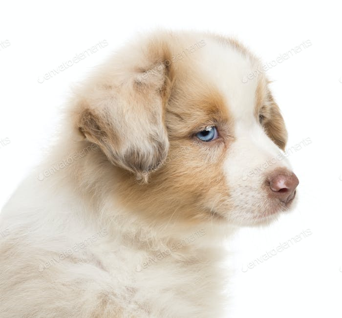 Close-up of an Australian Shepherd puppy, 8 weeks old, looking away against white background