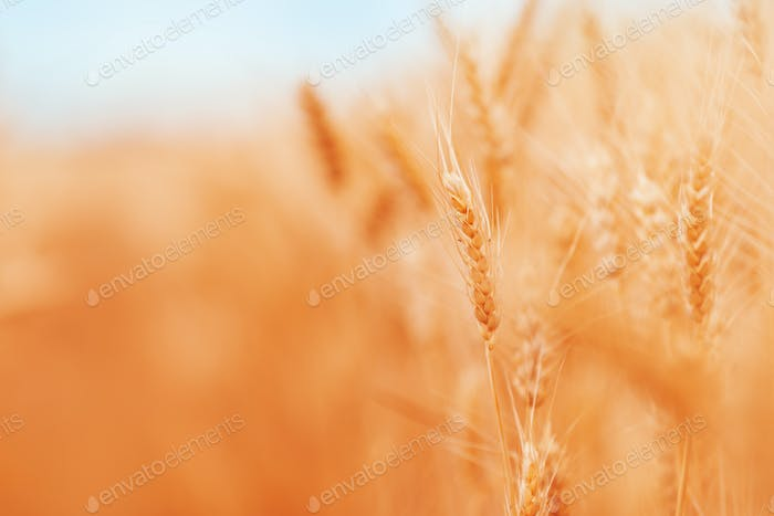 Ripe harvest ready wheat crops field in summer, cereal plant cultivation