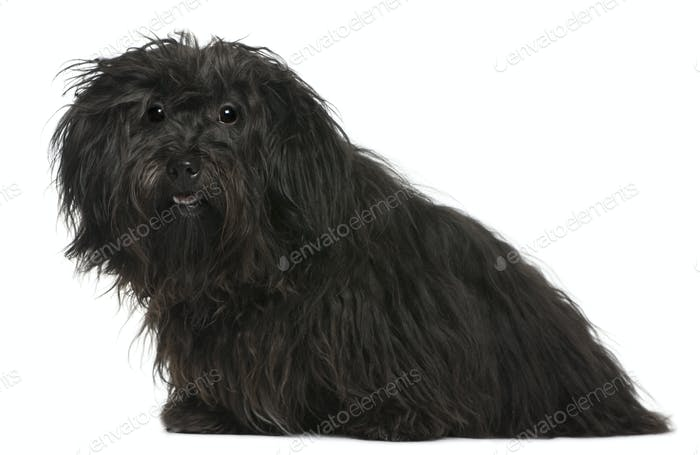 Havanese, 11 months old, sitting in front of white background