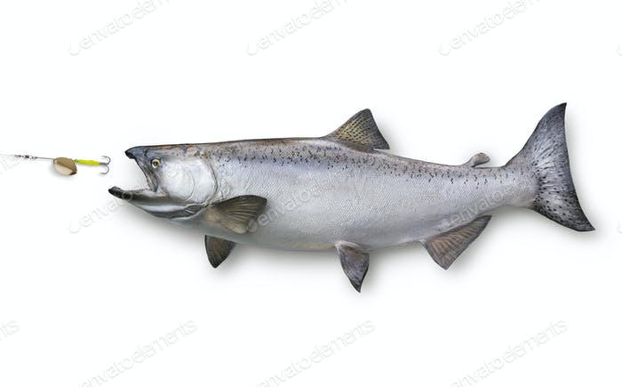 King Salmon Chasing a Lure Isolated on White Background