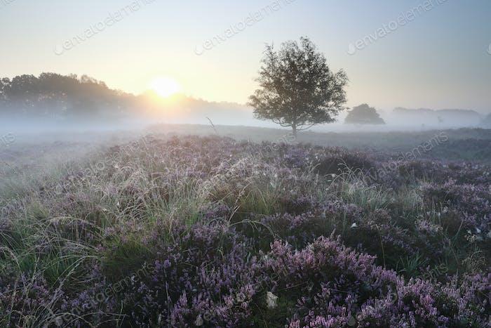 beautiful serene misty sunrise over heather flowers
