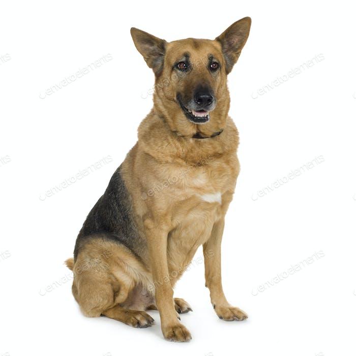 german shepherd (9 years)/ alsatian, police dog