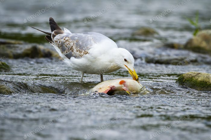 Large caspian gull feeding on a fish in stream with cold water in nature