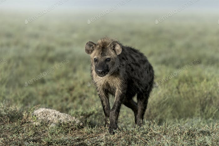Hyena walking in Serengeti National Park