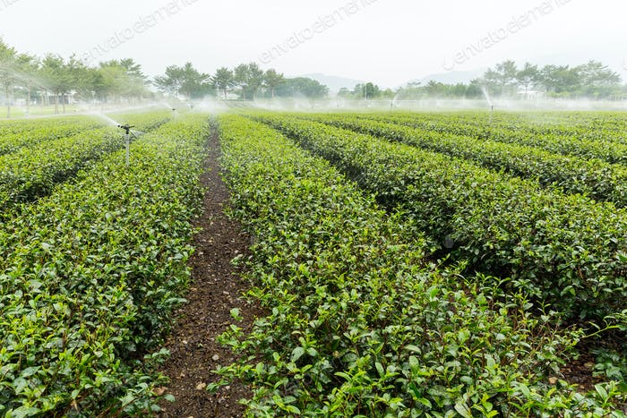 Tea plantation fields with water sprinkler system