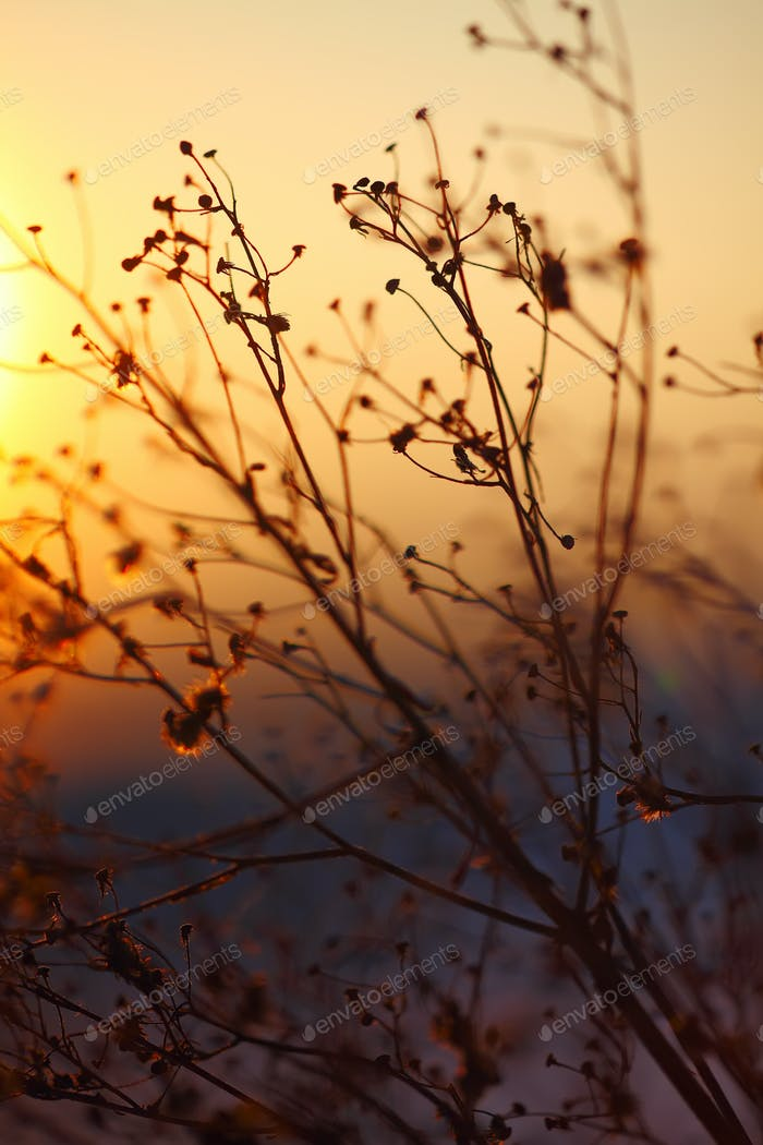 silhouette of dried  plant on a background sunset