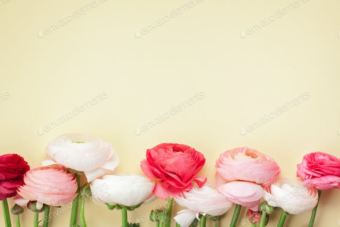 Pink and white ranunculus flowers on yellow background. Flat lay