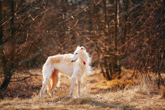 Hund Russisch Borzoi Wolfhound Kopf, im freien Frühling, Herbst Meere