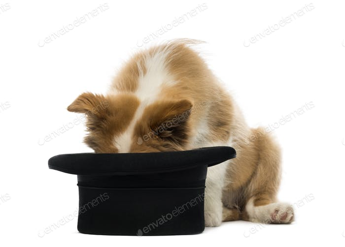 Border Collie puppy looking into a top hat
