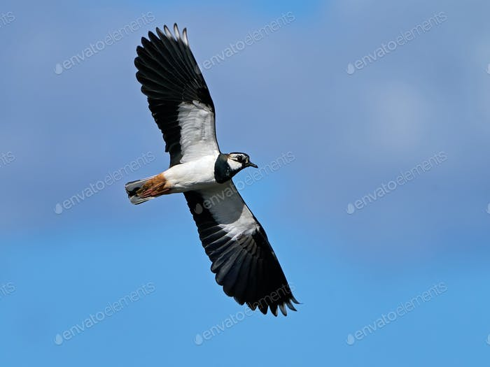 Northern lapwing (Vanellus vanellus) in flight in its natural enviroment