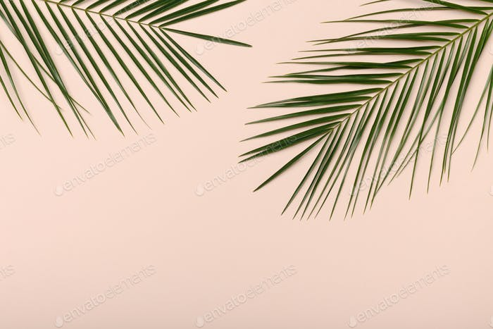Palm plant leaves, the tropical evergreen isolated on pink