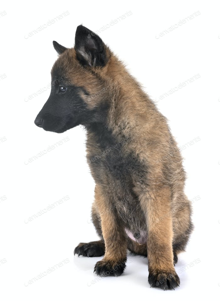 puppy malinois in studio