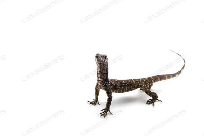 The black roughneck monitor lizard isolated on white backgrouns