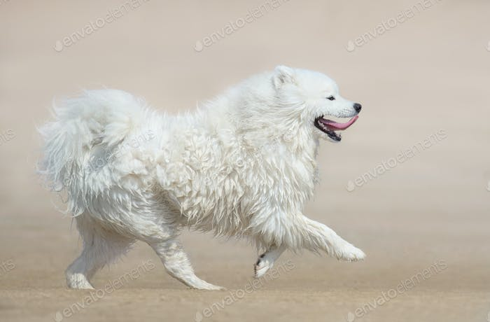 White fluffy dog of breed Samoyed dog running on beach. Monochrome sand color background.