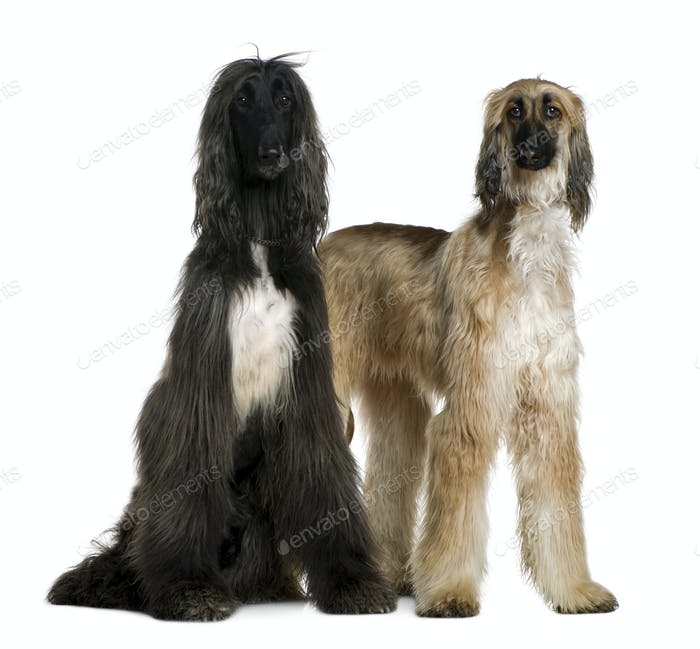Two Afghan hounds, 1 and 2 years old, in front of white background