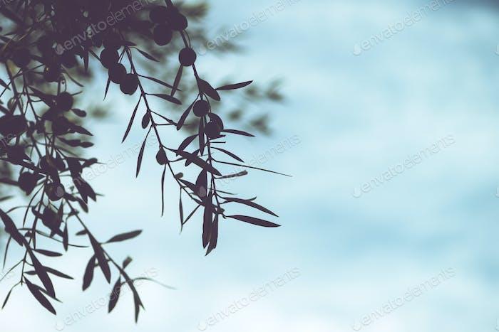 Ramas Árbol olivo en huerto