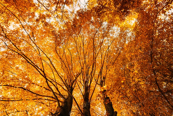 Autumn Fall Canopy Of Tall Trees With Orange Foliage. Sunlight In Deciduous Forest. Upper Branches