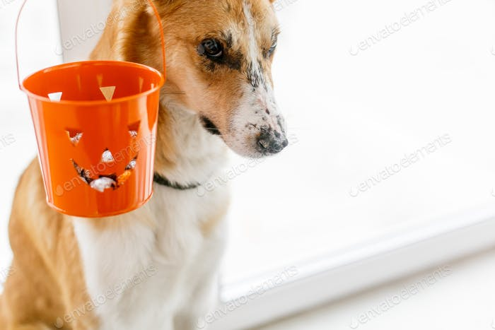 Cute golden dog and jack lantern bucket with candy