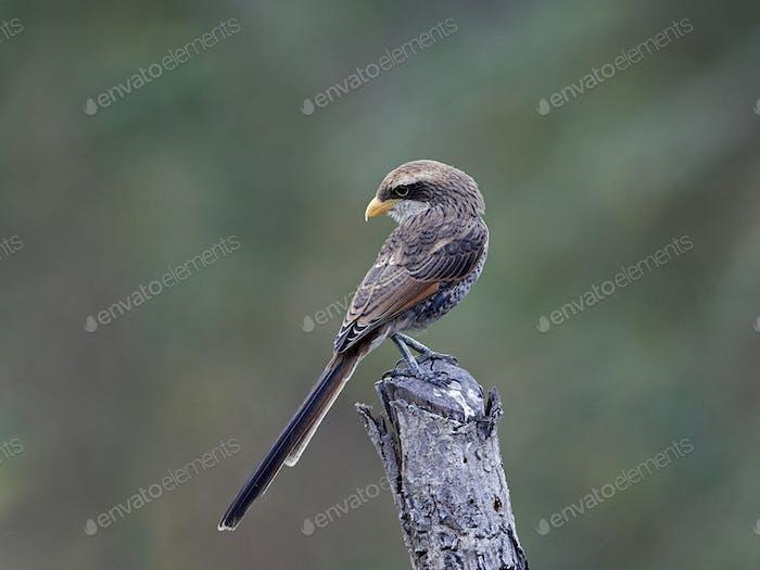 Yellow-billed shrike (Corvinella corvina)