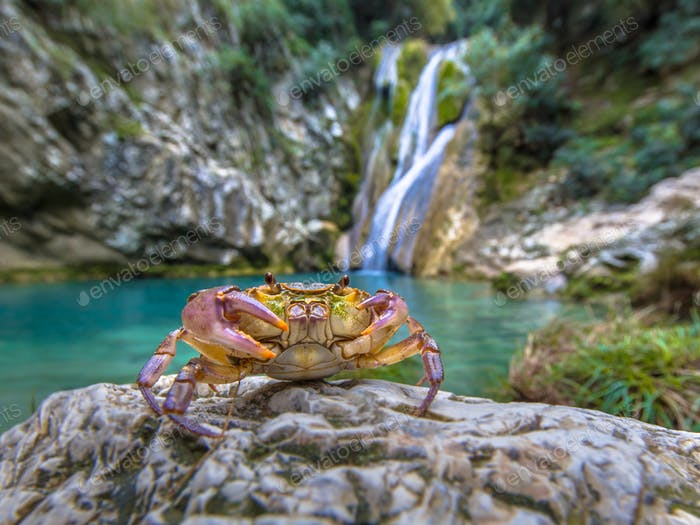 European freshwater crab in habitat